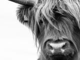 Aluminium Dibond 125×85. 'Portret Schotse Hooglander zwart-wit' van Sandra van Kampen