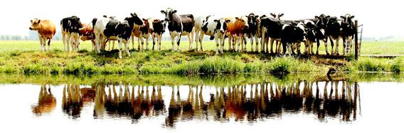 Aluminium Dibond 105×35. 'cows in a row' van Annemieke van der Wiel