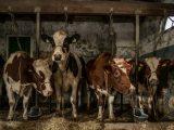 Aluminium Dibond 125×85. 'Koeien in oude koeienstal' van Inge Jansen