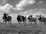 Aluminium Dibond 125×85. 'Koeien In De Polder 02' van Peter Bongers
